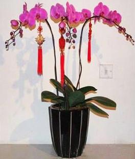 3株 红蝴蝶兰