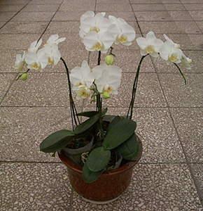 四株白色蝴蝶兰